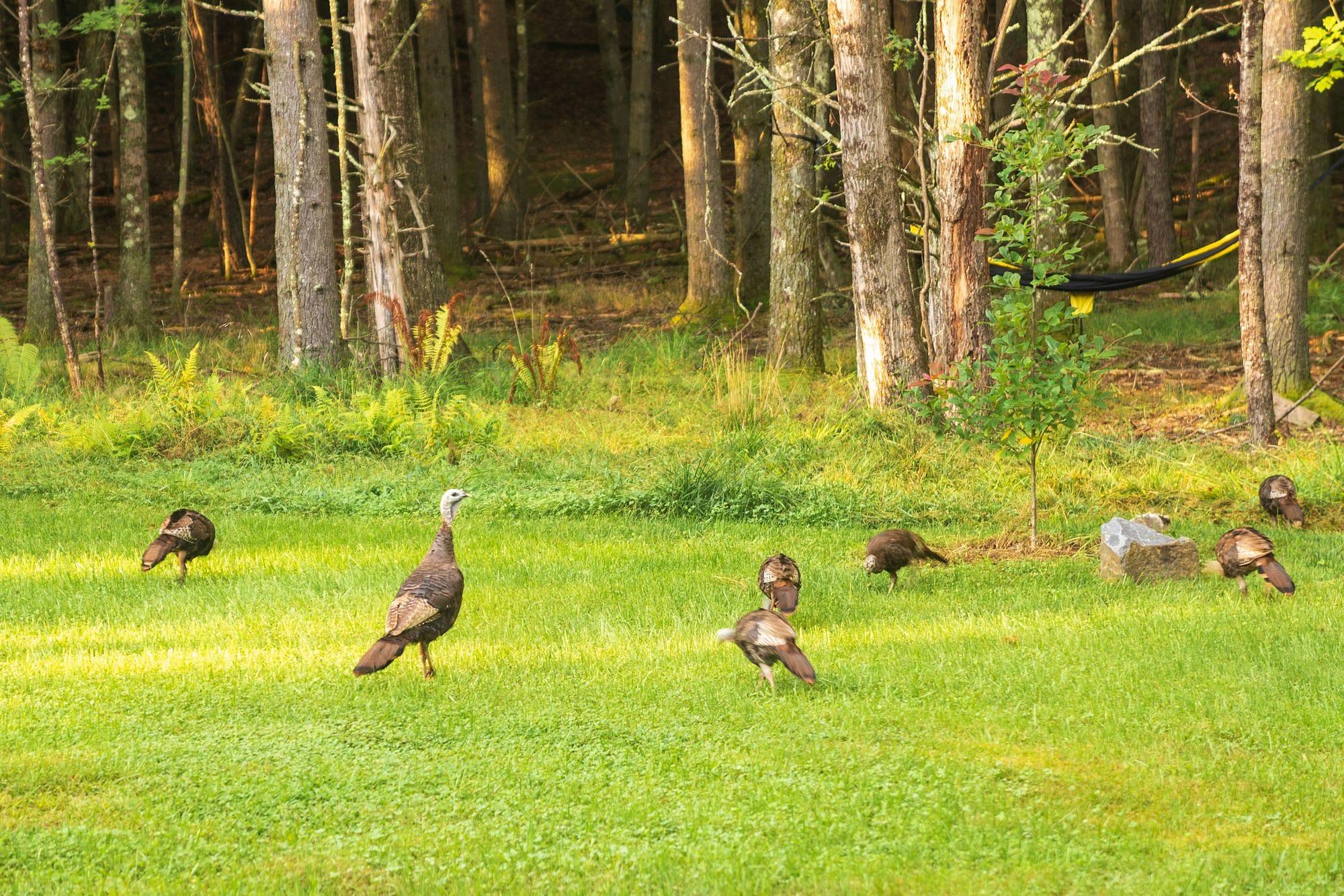 New York Wild Turkeys