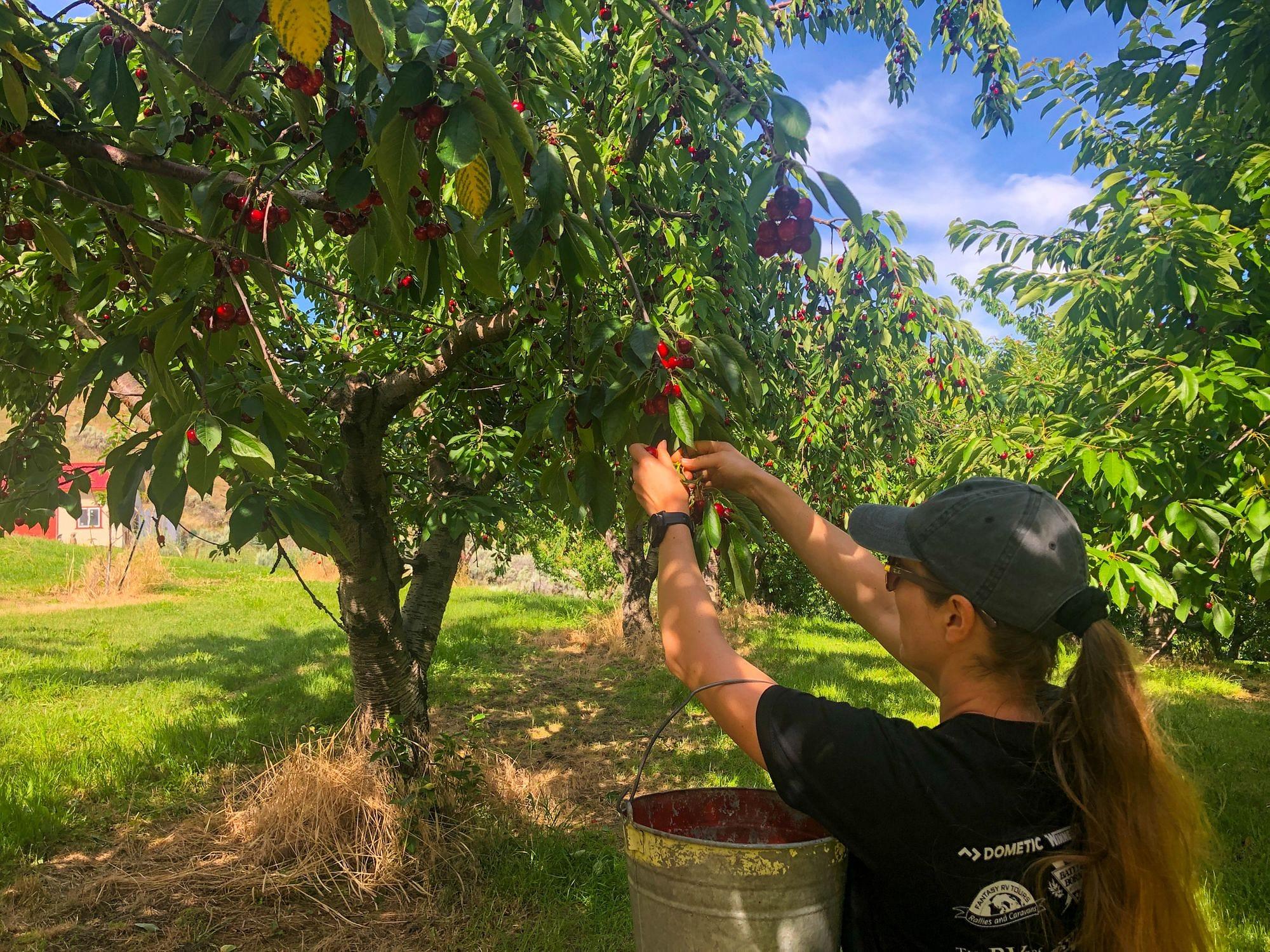U-Pick Cherries