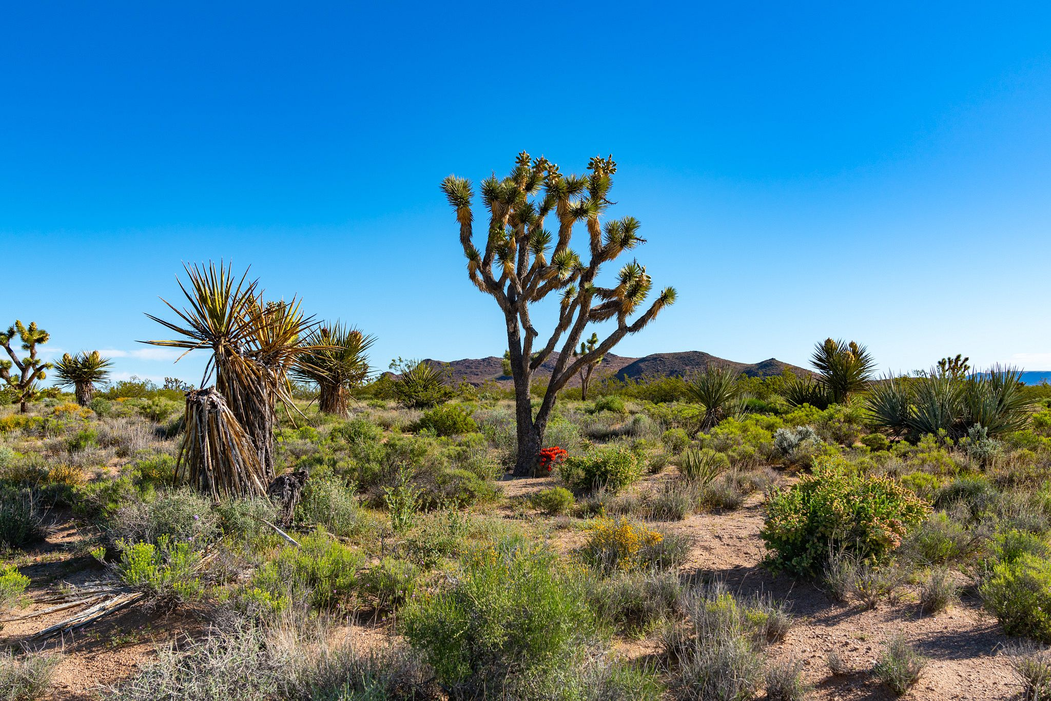 Joshua Trees in Mojave National Preserve