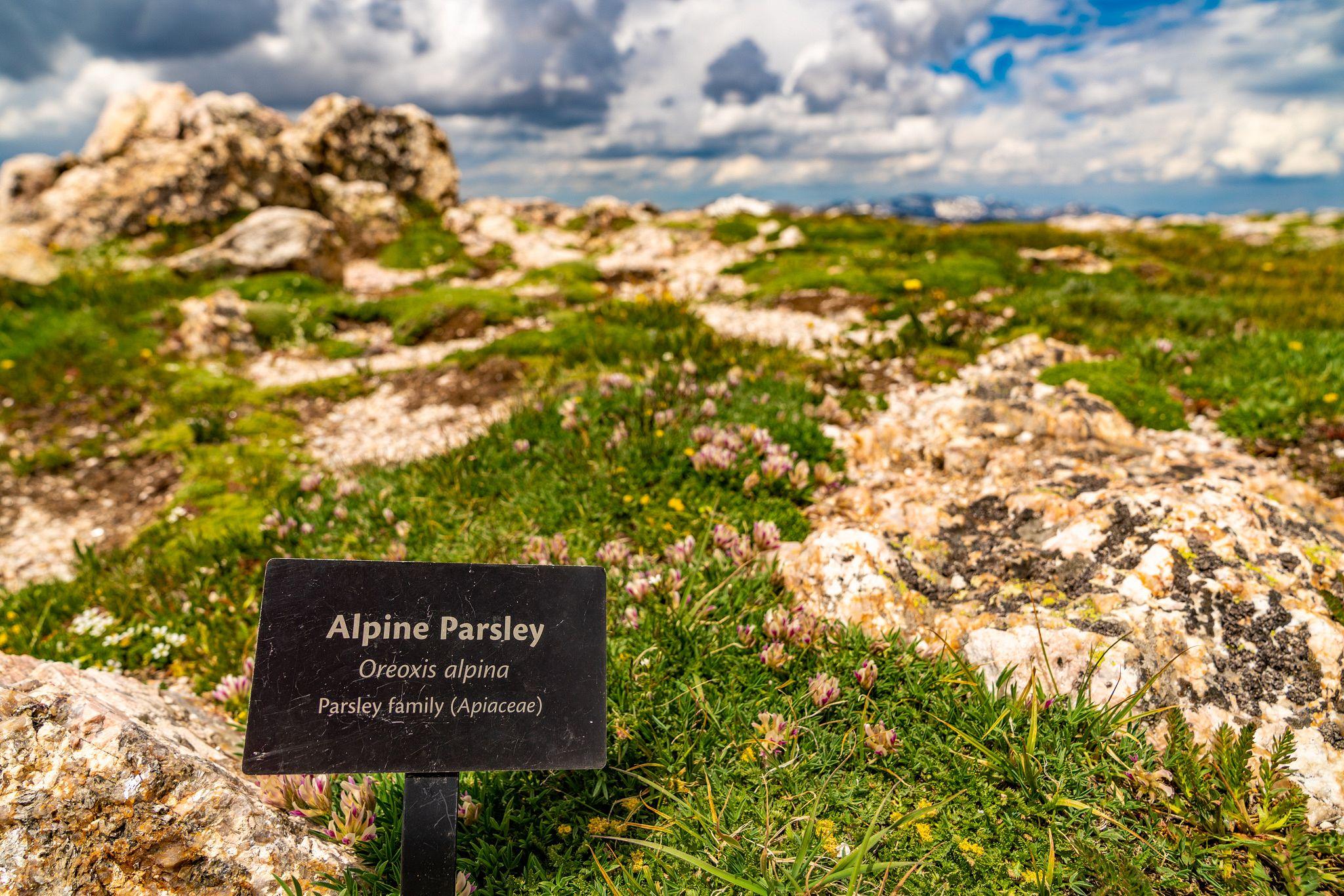 Alpine Parsley