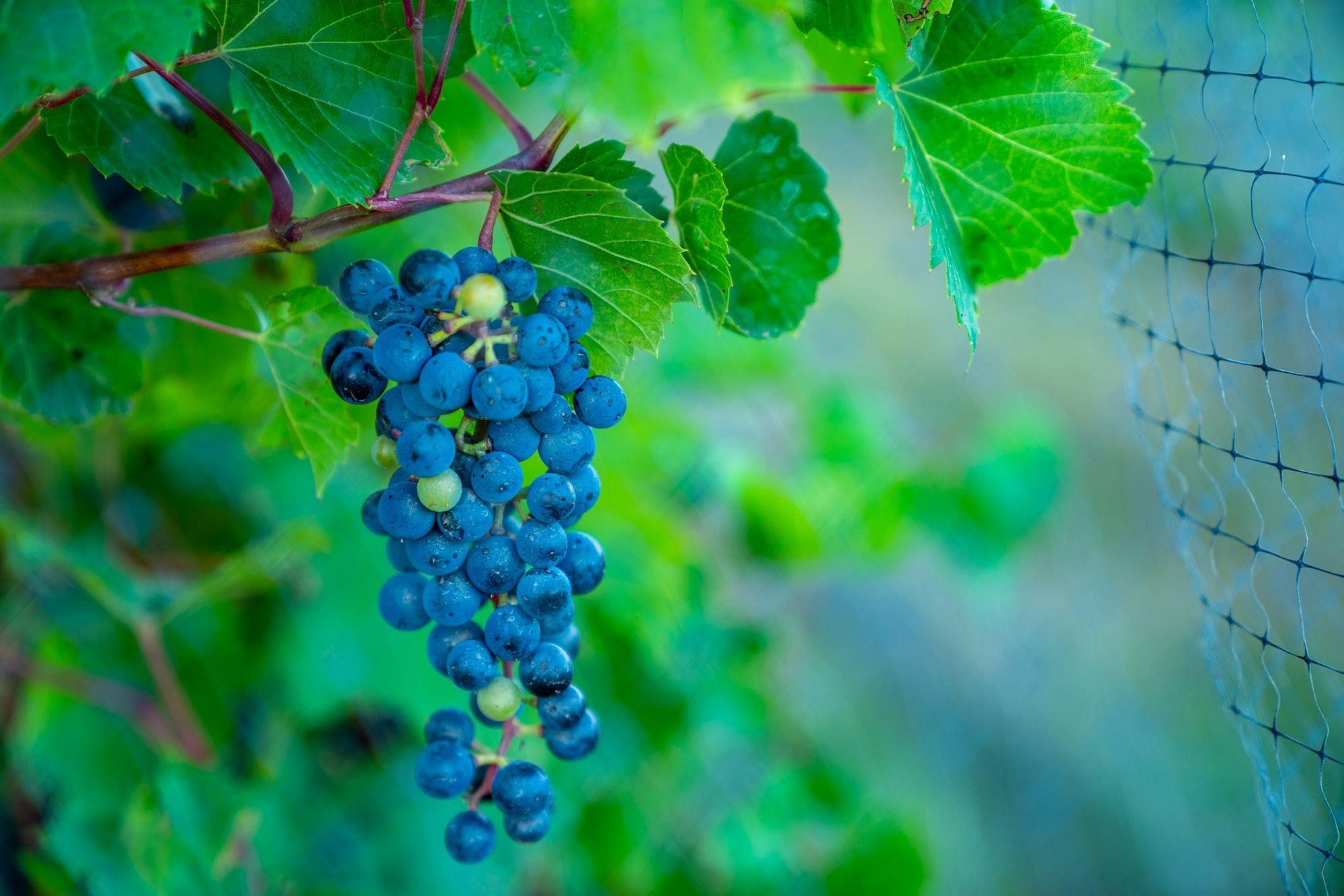 Harvest Hosts Vineyards