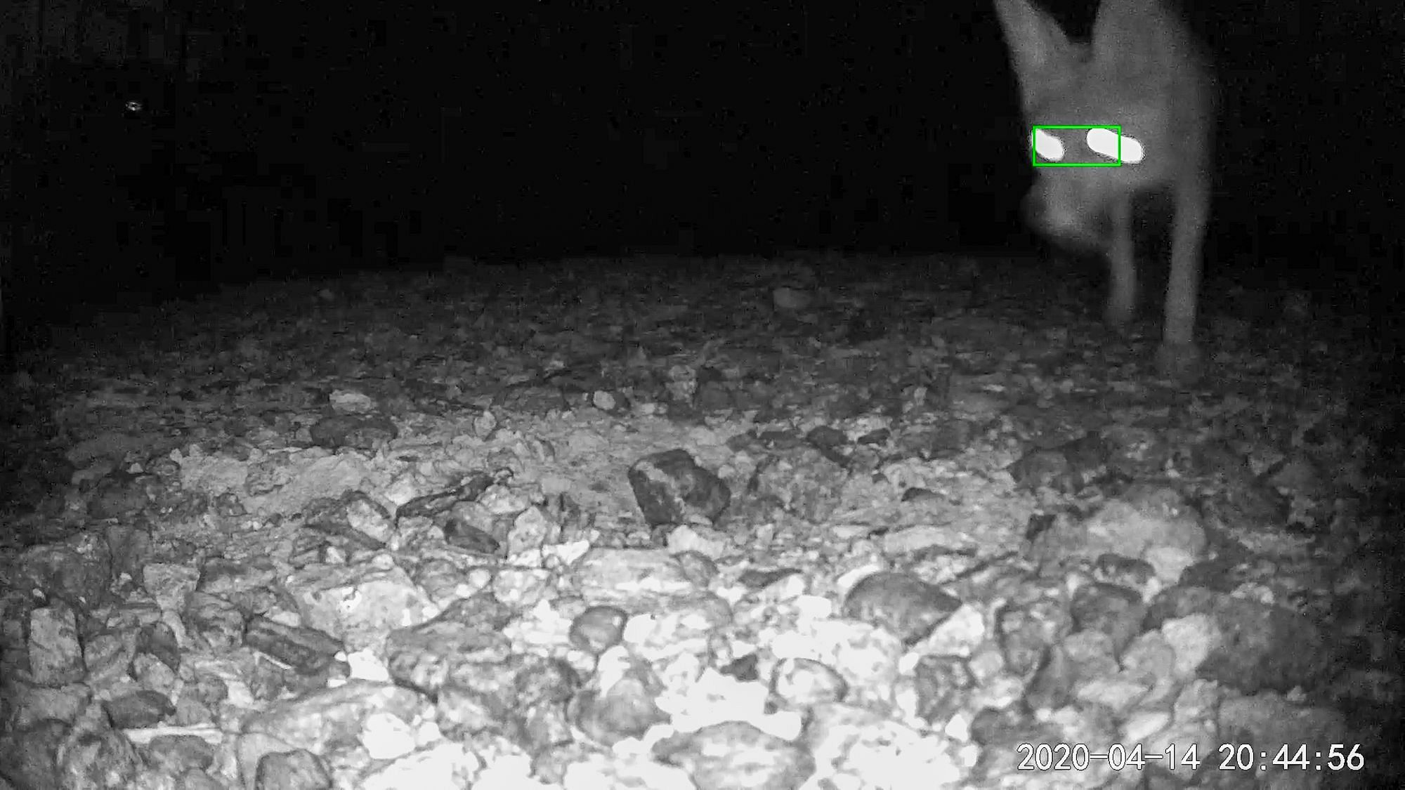 Coyote on Camera