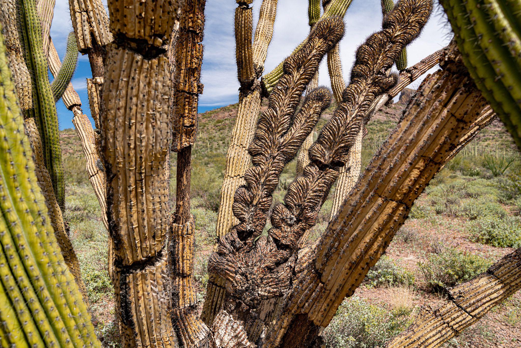 Crested Organ Pipe Cactus